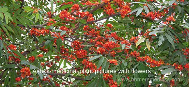 Ashok medicinal plant pictures with flower-Saraca asoca