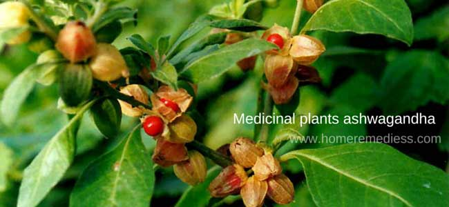 Ashwagandha plant picture with flowers