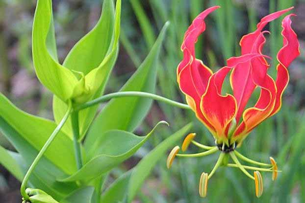 Calihari Glory Lily flower image