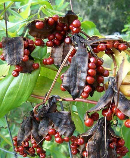 Glory Lily fruits and seeds