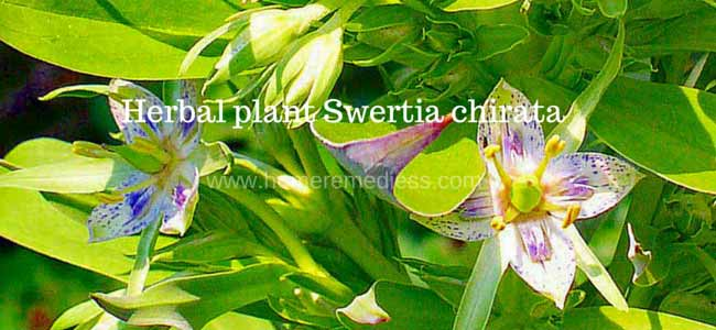 Herbal plant Swertia chirata uses and images