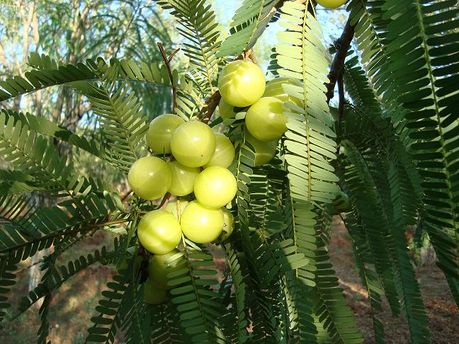 Indian Gooseberry tree pictures
