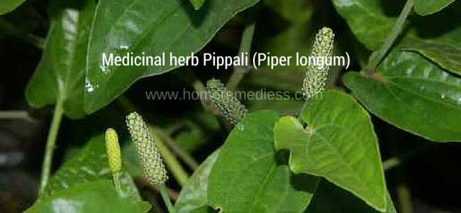 Medicinal herb Pippali uses and images (Piper longum)