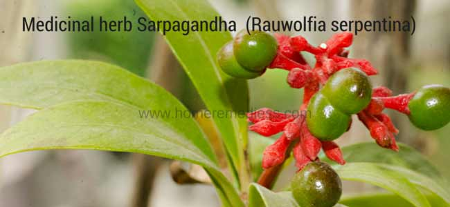 Medicinal herb Sarpagandha-uses-and-pictures (Rauwolfia serpentina)