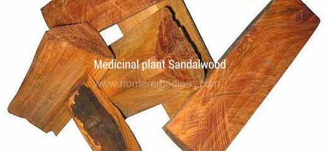 Medicinal plants Sandalwood uses and images
