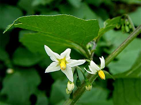 Black Nightshade Solanum nigrum flowers images
