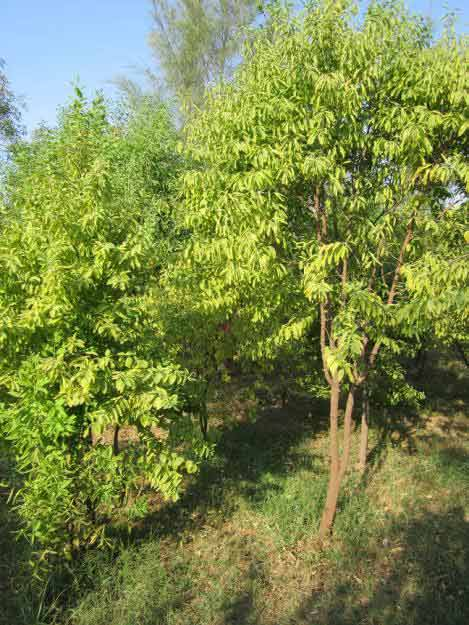 Sandalwood tree picture