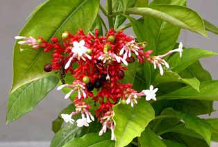 serpentina flowers (snakeroot)