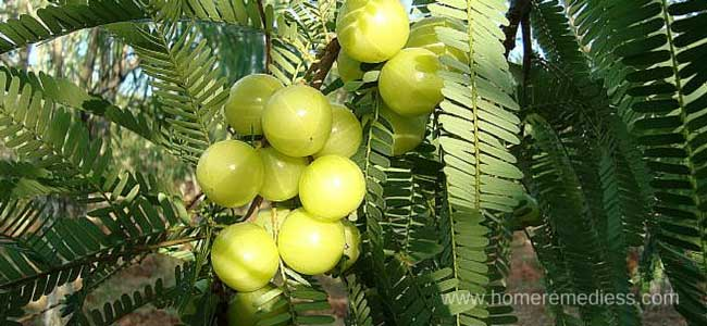 amla tree picture with fruit (Indian gooseberry)