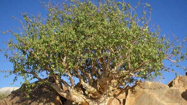 Medicinal plant Guggul uses and pictures (Commiphora wightii)