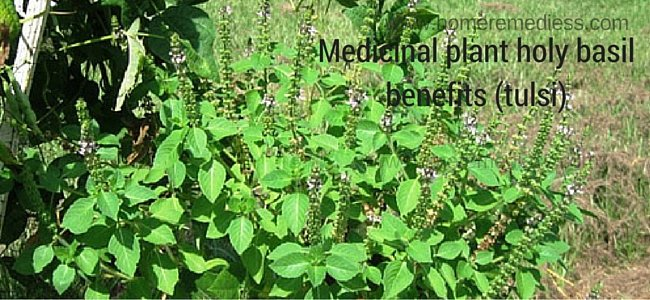 Medicinal plant holy basil benefits (tulsi) and pictures