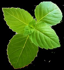 tulsi holy basil leaves