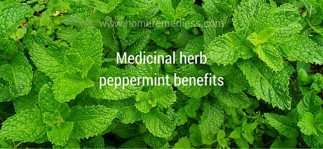 Medicinal herb peppermint benefits and images (Mentha piperita)