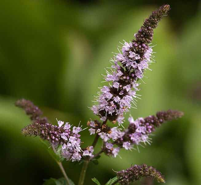 peppermint flowers image