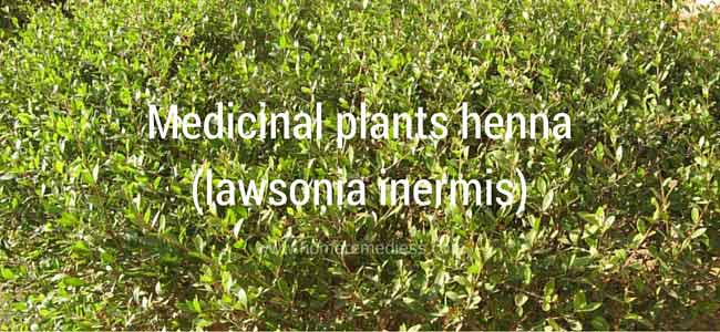 Medicinal plants henna uses and pictures (lawsonia inermis)