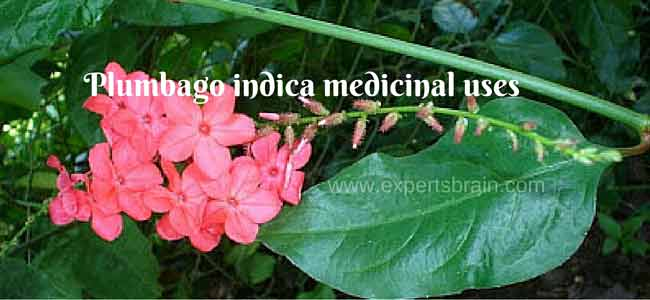 Plumbago indica medicinal uses and photos