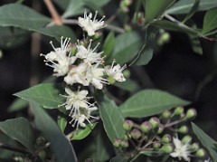 Henna Medicinal plant uses and pictures (lawsonia inermis)
