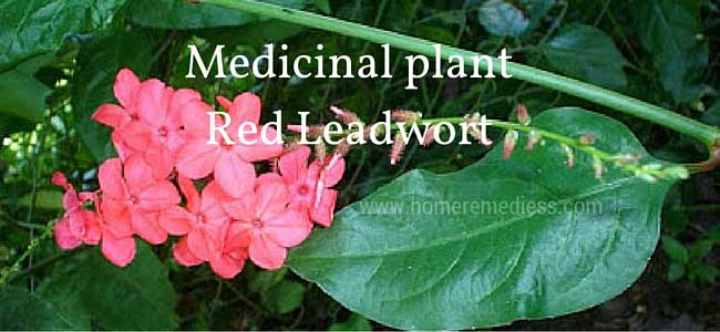 Medicinal plant Red Leadwort uses
