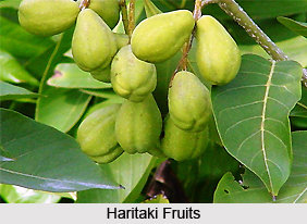 haritaki-fruits