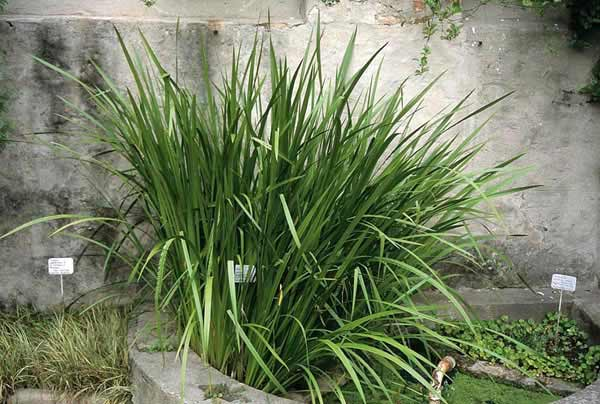 Acorus calamus medicinal uses and picture