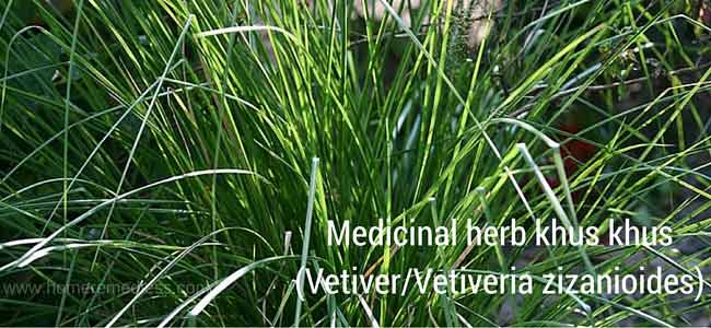 Medicinal herb khus khus (Vetiver) uses and pictures