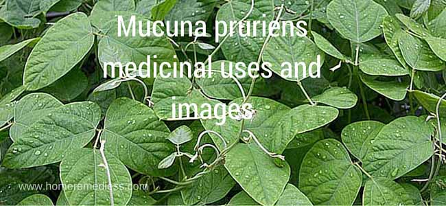 Mucuna pruriens medicinal uses and images
