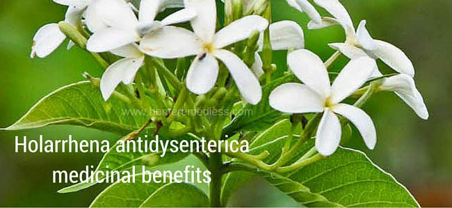 Holarrhena antidysenterica medicinal benefits and images