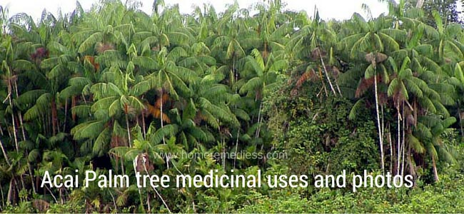 Acai Palm tree medicinal uses and photos