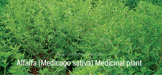 Alfalfa (Medicago sativa) Medicinal plant benefits and pictures