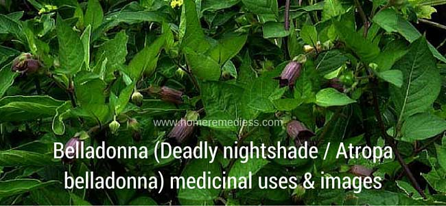 Belladonna (Deadly nightshade- Atropa belladonna) medicinal uses & images