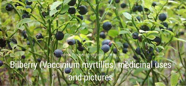 Bilberry (Vaccinium myrtillus) medicinal uses and pictures