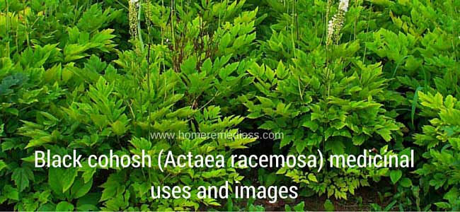 Black cohosh (Actaea racemosa) medicinal uses and images