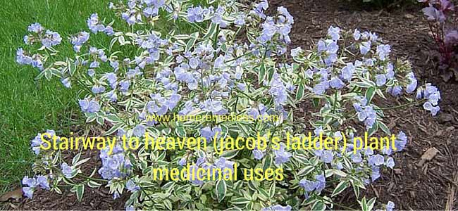 Stairway to heaven (jacob's ladder) plant medicinal uses and images