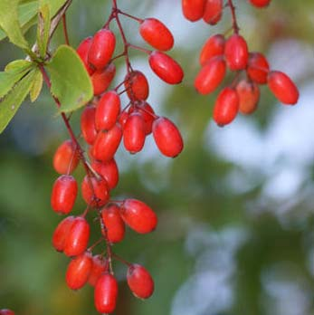 common barberry fruits