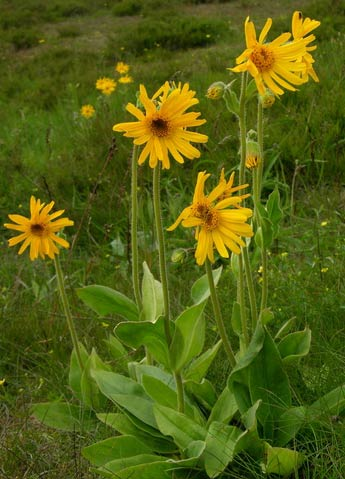 arnica montana: medicinal benefits and pictures, Skeleton