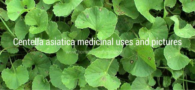 Centella asiatica medicinal uses and pictures