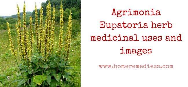 Agrimonia Eupatoria herb medicinal uses and images