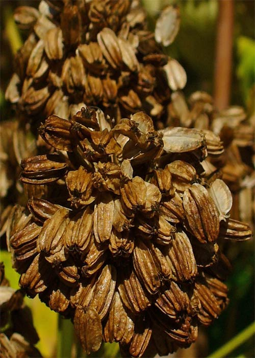 Angelica Archangelica fruits and seeds