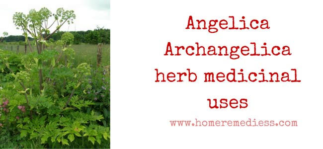 Angelica Archangelica herb medicinal uses