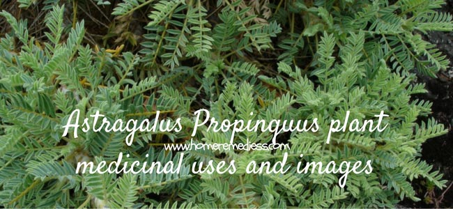 Astragalus Propinquus plant medicinal uses and images