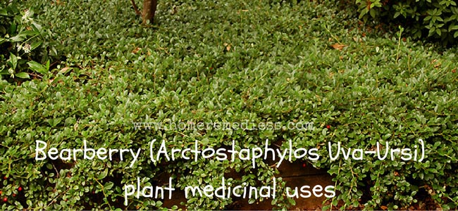 Bearberry (Arctostaphylos Uva-Ursi) plant medicinal uses and images