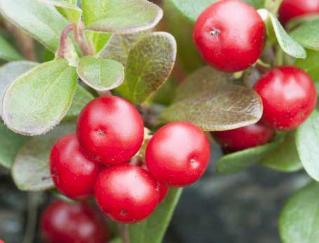 Bearberry fruits