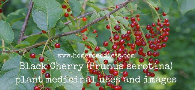 Black Cherry (Prunus serotina) plant medicinal uses and images