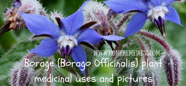 Borage (Borago Officinalis) plant medicinal uses and pictures