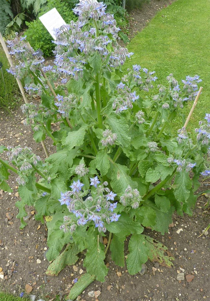 Borage (Borago Officinalis) plant