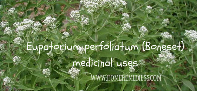 Eupatorium perfoliatum (Boneset) medicinal uses and photos