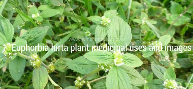 Euphorbia hirta plant medicinal uses and images
