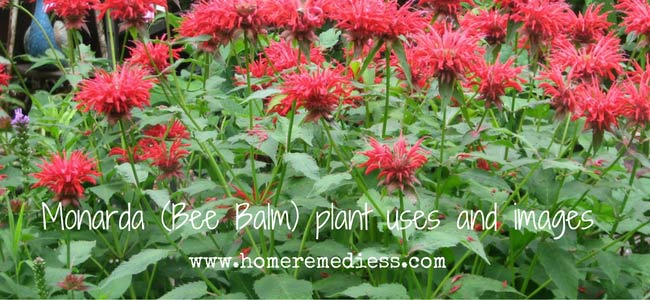 Monarda (Bee Balm) plant uses and images