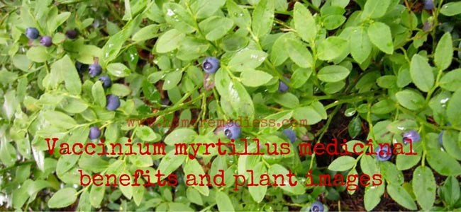 Vaccinium myrtillus medicinal benefits and plant images