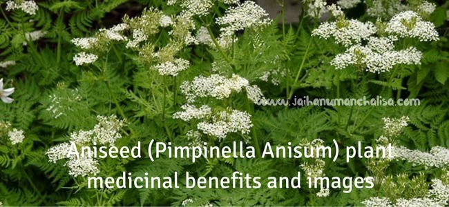Aniseed (Pimpinella Anisum) plant medicinal benefits